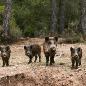 wild-boars-nature